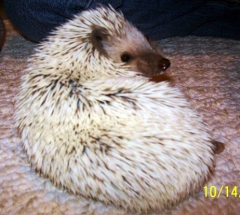 My sister used to breed hedgehogs. No joke- this was her 'stud'