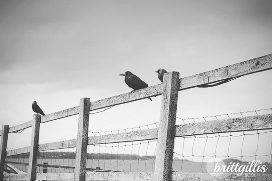 Crows on a fenceline. Stonehenge, England. 2013