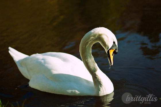 swan1