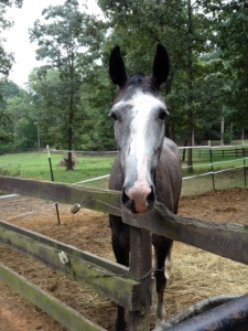Faces from home: Betty, the Trakehner X Dutch Harness Horse jumper mare