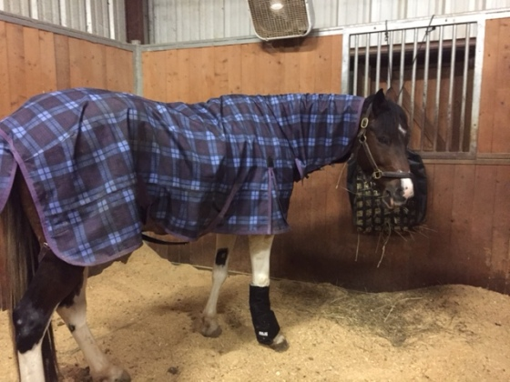 Foster relaxing in his stall wearing his Ice Boot