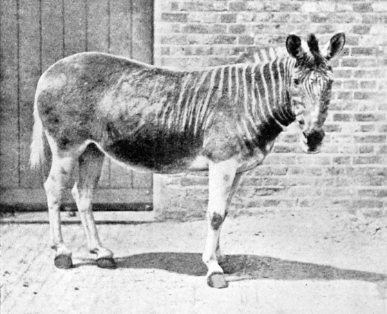 """Quagga in enclosure"" by Frederick York (d. 1903) - http://openlibrary.org/books/OL18018139M/Extinct_animals. Licensed under Public Domain via Commons - https://commons.wikimedia.org/wiki/File:Quagga_in_enclosure.jpg#/media/File:Quagga_in_enclosure.jpg"