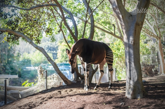 My spirit animal slash favorite animal of all time, the Okapi